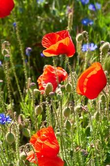 Rode papavers en heldere blauwe korenbloemen buitenshuis