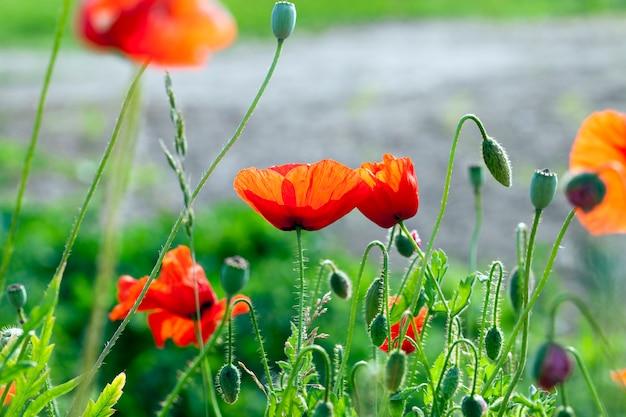 Rode papavers in het voorjaar