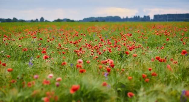 Rode papavers in volle bloei groeien op het veld onscherpe achtergrond