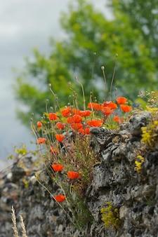 Rode papavers op een oude stenen muur, zomer, buitenshuis, verticaal