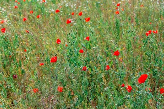 Rode papavers zwaaien in de wind in veldlandschap. prachtig veld met bloeiende klaprozen als symbool van geheugenoorlog en anzac-dag in de zomer. het landschap van het wilde bloemenpapavergebied. bloeiende papaver.