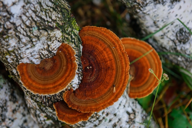 Rode parasiet paddestoelgroei op boom