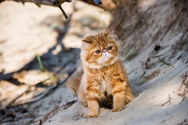 Rode perzische kat die op het strand loopt