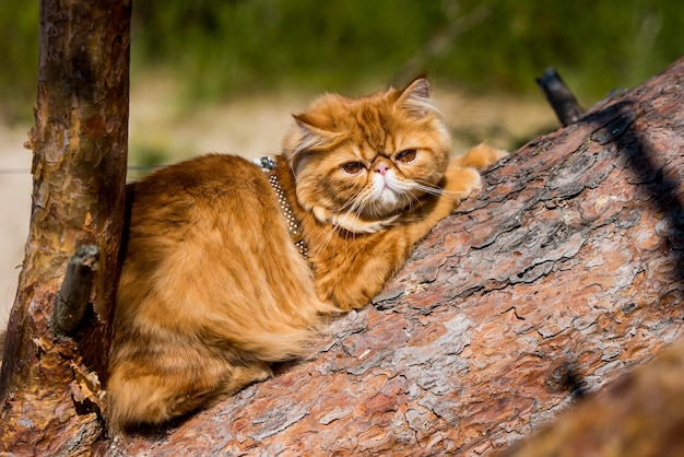 Rode perzische kat klimmen en zitten op de boom