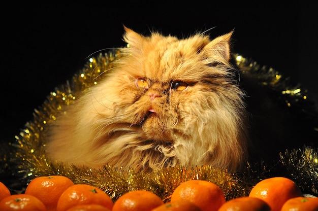 Rode perzische kat met mandarijnenvruchten op nieuwjaar of kerstmis