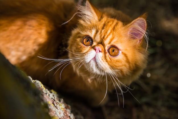 Rode perzische kat portret met grote oranje ronde ogen