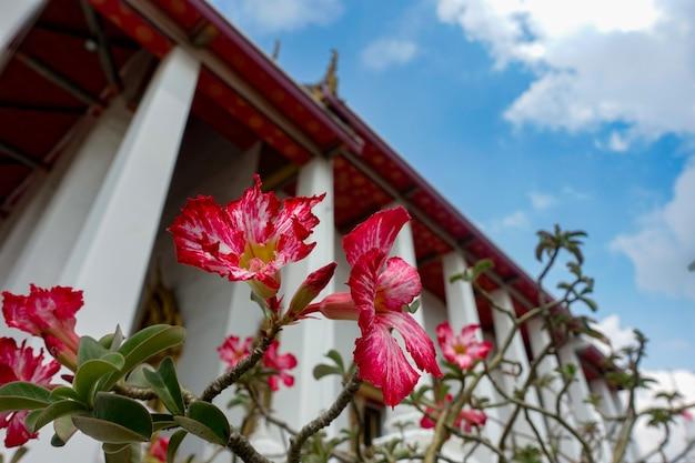 Rode petunia in tempel