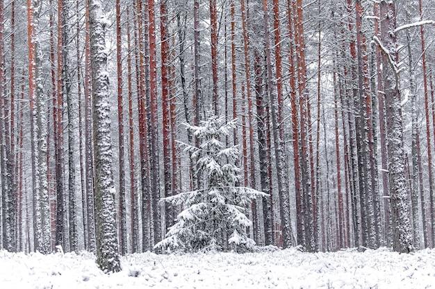 Rode pijnbomen in het de winterbos