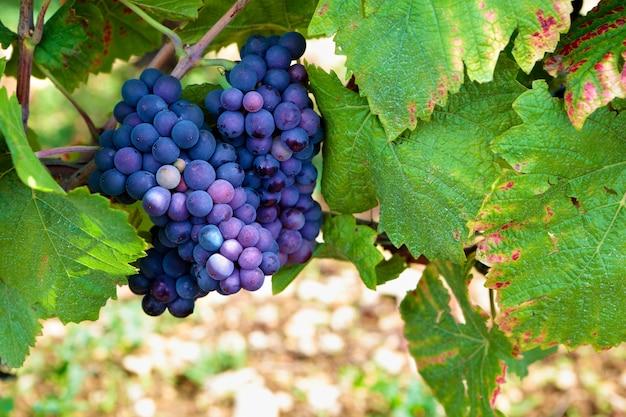 Rode pinot noir rode wijn druiven bourgogne wijngaard frankrijk.