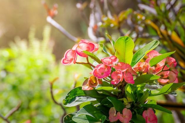 Rode poi sian bloemen bloeien in de tuin op de natuurlijke achtergrond van de ochtend, euphorbia milii bloemen, kroon van doornen bloem