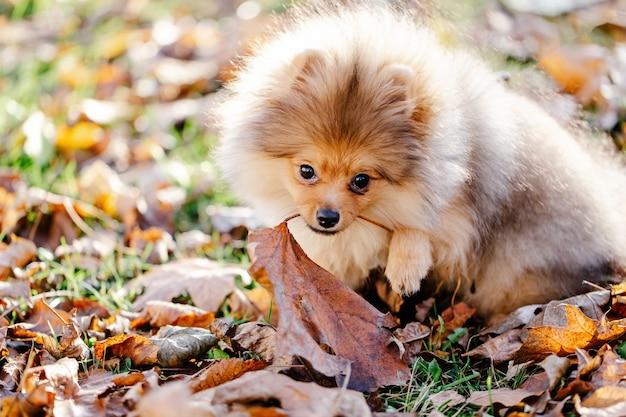 Rode pommeren puppy