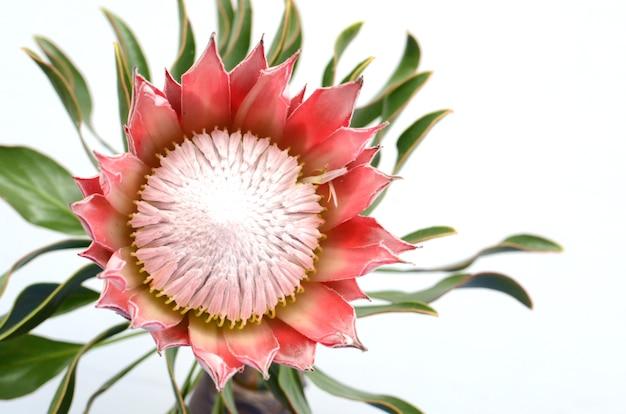 Rode protea op witte achtergrond