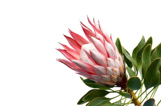 Rode protea op witte achtergrond