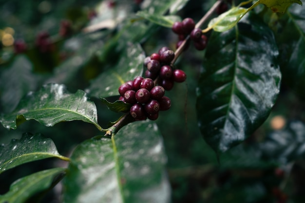 Rode rijpe arabica koffie onder het bladerdak van bomen in het bos, landbouw koffie met de hand plukken