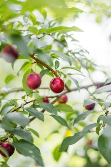 Rode rijpe pruimen aan de boom, rijpe bes op de tak van een pruimenboom in de tuin