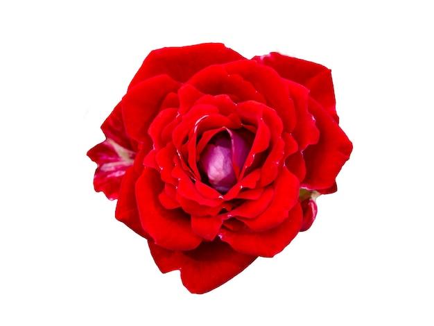 Rode roos geïsoleerd op een witte achtergrond. mooi stilleven. lente tijd. plat lag, bovenaanzicht.