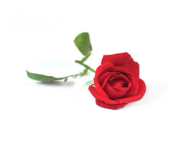 Rode roos geïsoleerd op een witte achtergrond