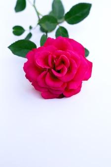 Rode roos geïsoleerd op een witte achtergrond.