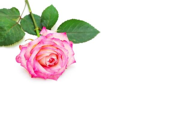 Rode roos geïsoleerd op een witte ondergrond