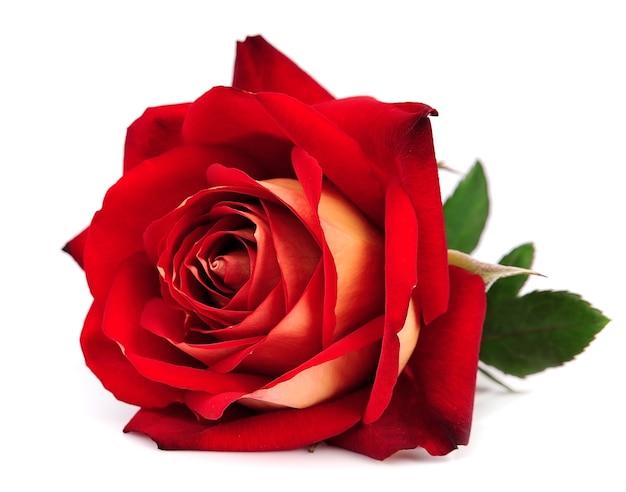 Rode roos geïsoleerd op witte achtergrond