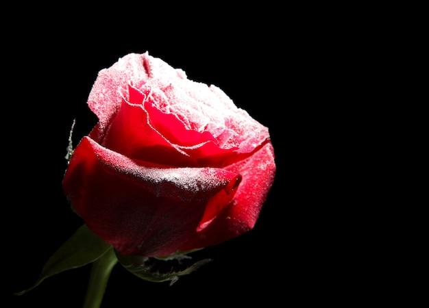 Rode roos in ijs, geïsoleerd op zwart