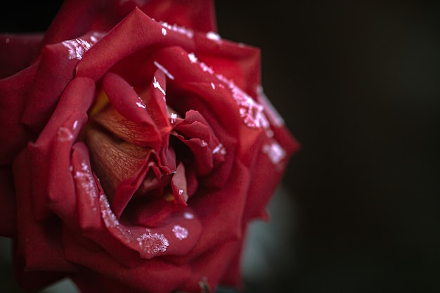 Rode roos is bedekt met rijp op een vroege, ijzige ochtend.