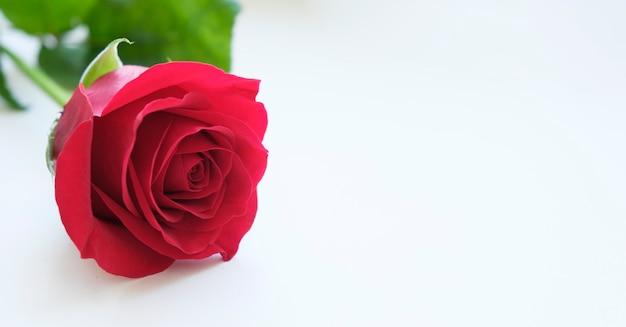 Rode roos met groene bladeren op witte achtergrond. plaats voor tekst. horizontale oriëntatie.