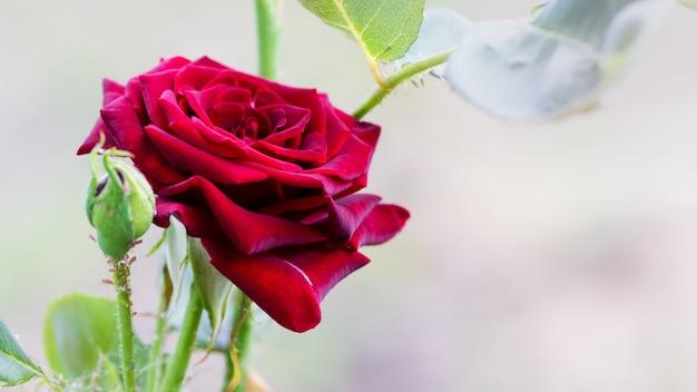 Rode roos met knop op licht wazig background_