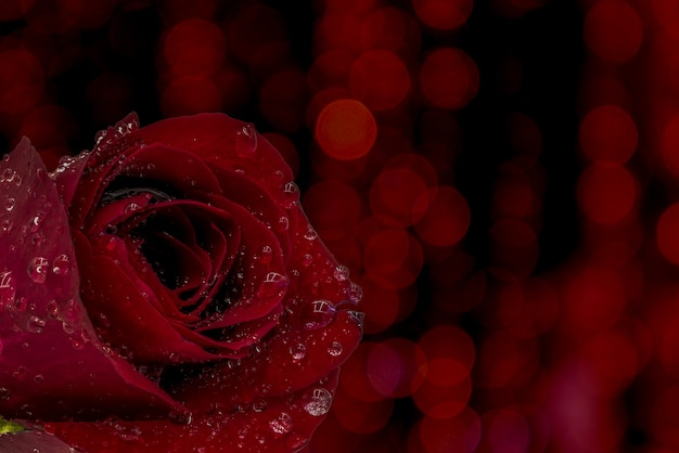 Rode roos met waterdruppels op rode achtergrond met bokeh.