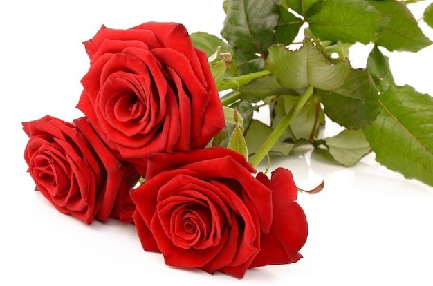Rode roos op een witte achtergrond