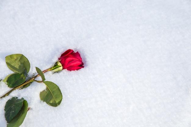 Rode roos op sneeuw