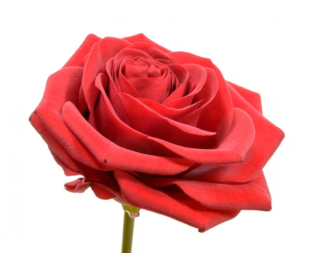 Rode roos op wit