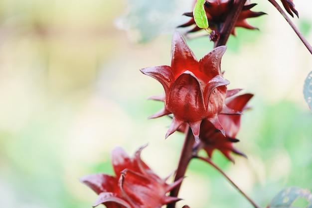 Rode roselle voor gezondheidsdrank natuurlijke kruiden, hibiscus sabdariffa - roselle-fruitinstallatie op boom in de tuin met groene bladachtergrond