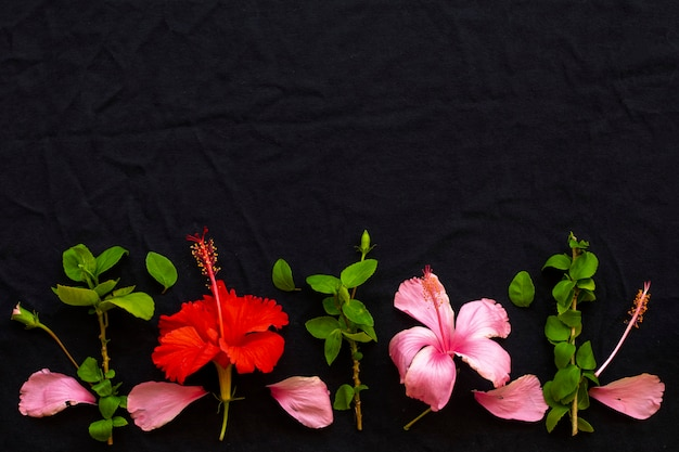 Rode, roze bloemenhibiscus op zwarte achtergrond