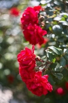 Rode rozen als natuurlijke en vakantieachtergrond. rode rozenbos in de tuin.