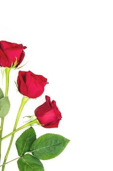 Rode rozen geïsoleerd op wit