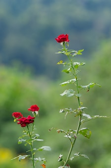 Rode rozen in de tuin, rozen zijn mooi, bloemen voor valentijnsdag.