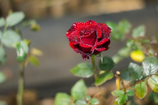 Rode rozen in de tuin
