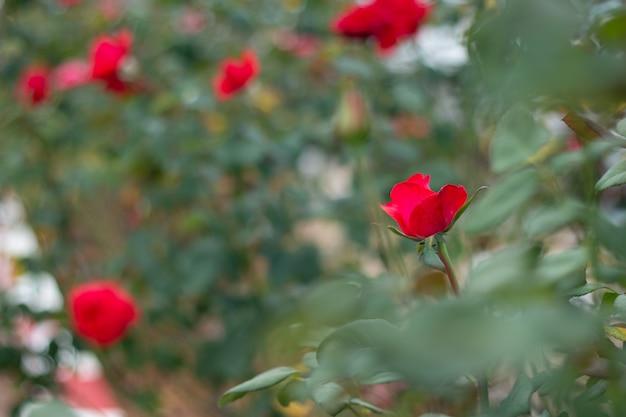 Rode rozen op een struik in een tuin thailand