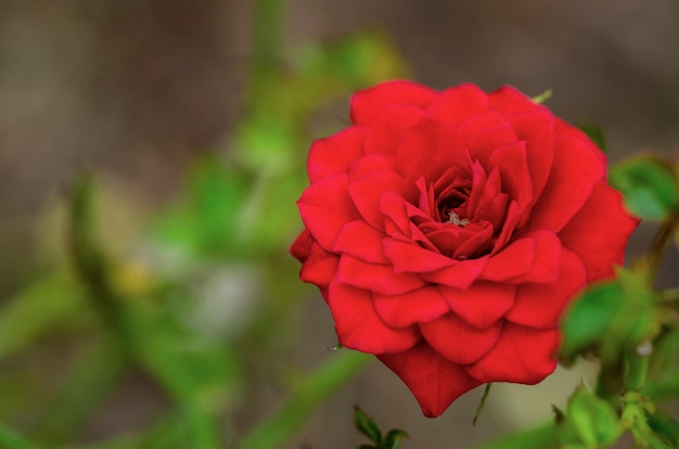 Rode rozen vervaagd