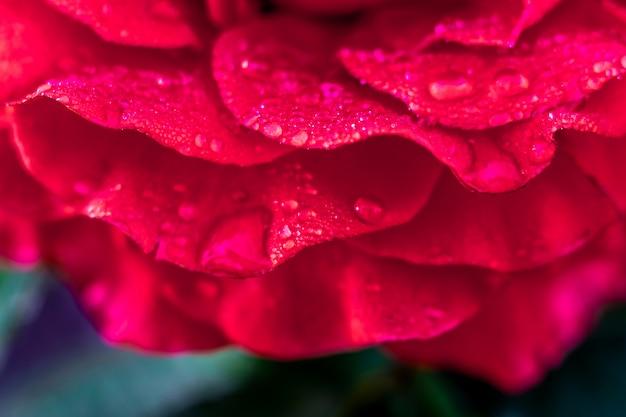 Rode rozenblaadjes, bedekt met dauw, in de ochtend in de tuin