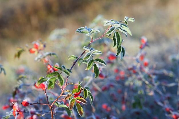 Rode rozenbottel bessen met ijs. eerste vorst in de herfst. rijp op dogrose takken fna bladeren.