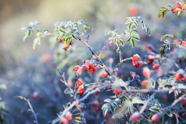 Rode rozenbottel bessen met sneeuw. een wilde rozenstruik met vorst. eerste vorst in de herfst. rijp op dogrose takken fna bladeren.