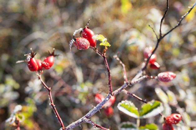 Rode rozenbottel bessen met sneeuw. een wilde rozenstruik met vorst. eerste vorst in de herfst. rijp op dogrose takken.