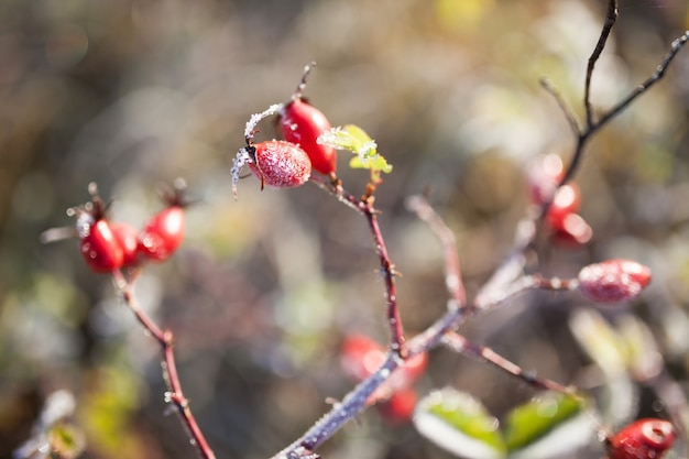 Rode rozenbottel bessen met sneeuw. een wilde rozenstruik met vorst en een blauwe lucht op de achtergrond. eerste vorst in de herfst. rijp op dogrose takken.