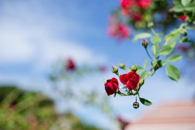 Rode rozenstruik in de tuin, struik van rode rozen tegen de blauwe hemel