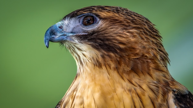 Rode schouders hawk
