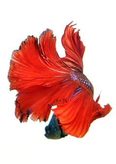 Rode siamese het vechten vissen, bettavissen die op witte achtergrond worden geïsoleerd.