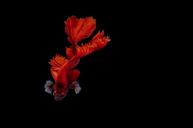 Rode siamese het vechten vissen