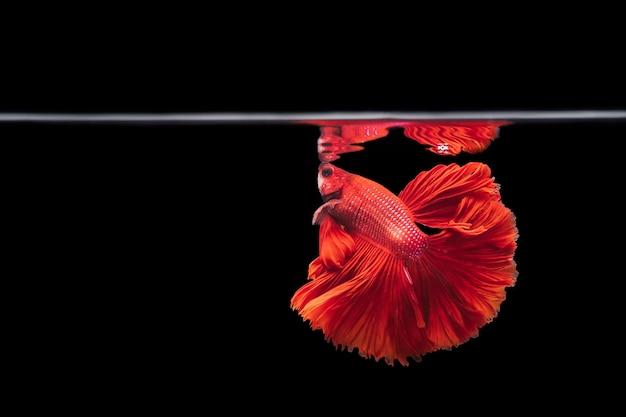 Rode siamese kempvissen betta splendens, op zwarte achtergrond, betta fancy koi halfmoon plakat